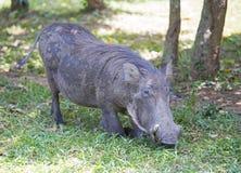 非洲人共同性Warthog 免版税库存照片