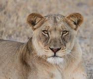 非洲人卡拉哈里雌狮 免版税库存图片