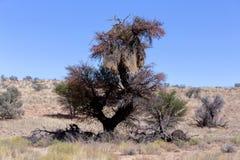 非洲人在树的被掩没的织布工大巢 免版税库存图片