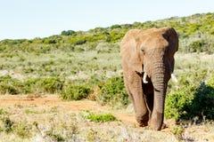 非洲人布什大象走 库存图片