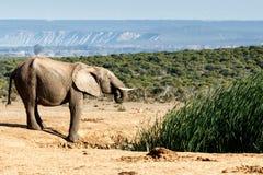 年轻非洲人布什大象饮用水 免版税图库摄影