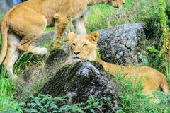 非洲人当幼童军狮子 免版税库存图片
