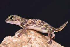 非洲人抓的壁虎(Holodactylus africanus) 免版税库存照片