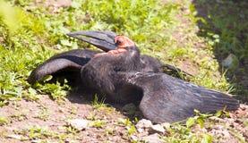 非洲黑人掠夺有角的calao鸟掠食性动物 免版税库存图片