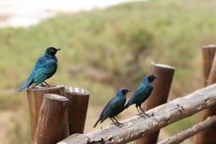 非洲人椋鸟科鸟 库存图片