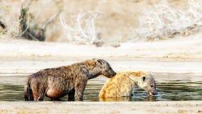 非洲人沐浴被察觉的鬣狗 图库摄影