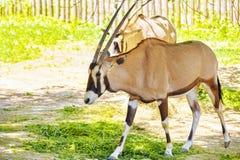 非洲人沙漠羚羊属生活羚羊属 国家森林 免版税图库摄影