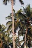 年轻非洲人爬上可可椰子。 免版税库存图片