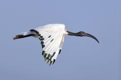 非洲人神圣的朱鹭(朱鹭类aethiopicus)在飞行中 库存图片