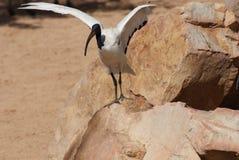 非洲人神圣的朱鹭- Threksiornis aethiopicus 库存图片