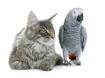 非洲人般的灰色鹦鹉和猫 免版税库存图片