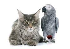 非洲人般的灰色鹦鹉和猫 免版税库存照片
