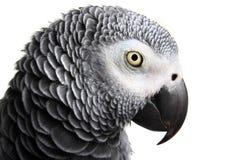 非洲人般的灰色鹦鹉 库存图片