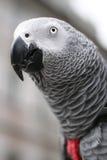 非洲人般的灰色鹦鹉- Psihacus画眉 库存图片