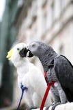 非洲人般的灰色鹦鹉Psihacus画眉-硫磺有顶饰Cockat 库存图片
