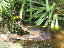 非洲人苗条装管嘴的鳄鱼(Mecistops cataphractus) v 免版税库存图片