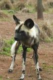 非洲人被绘的豺狗(Lycaon pictus) 免版税库存图片