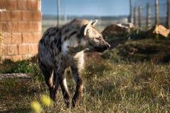 非洲人被绘的豺狗(Lycaon pictus) 免版税库存照片