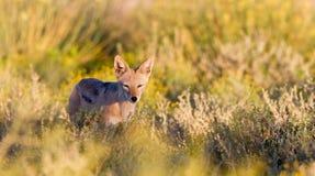 非洲人Blackback狐狼 库存图片