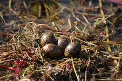 非洲人Jacana巢用在Okavango三角洲的鸡蛋,博茨瓦纳 库存照片