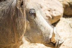 非洲人Warthog 免版税库存照片
