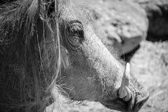 非洲人Warthog 免版税库存图片