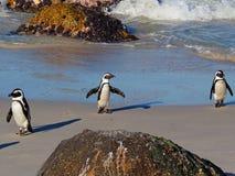 非洲企鹅三重奏在巨石城的海滩,西蒙的镇,南非的 免版税库存照片