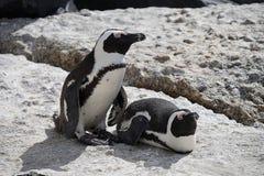 非洲企鹅冰砾海滩开普敦 免版税库存照片