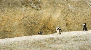 非洲企鹅冰砾海滩 库存图片