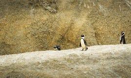 非洲企鹅冰砾海滩 免版税库存图片