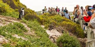 非洲企鹅在开普敦,南非 库存照片