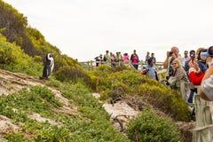 非洲企鹅在开普敦,南非 图库摄影