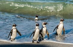 非洲企鹅在海浪的海洋和泡沫的大海游泳 免版税库存图片