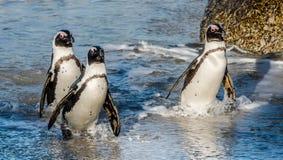 非洲企鹅在海浪的海洋和泡沫的大海游泳 库存图片
