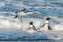非洲企鹅在海浪的海洋和泡沫的大海游泳 库存照片