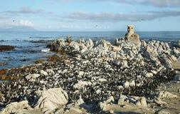 非洲企鹅在贝蒂的海湾 图库摄影