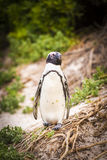 非洲企鹅开普敦半岛 免版税库存图片