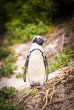 非洲企鹅开普敦半岛 免版税库存照片