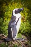 非洲企鹅开普敦半岛 库存照片