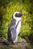 非洲企鹅开普敦半岛 库存图片