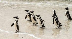 非洲企鹅拉特 在冰砾海滩的蠢企鹅Demersus 免版税库存照片
