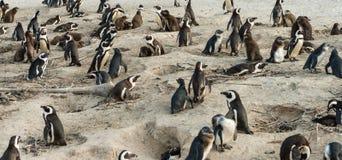 非洲企鹅拉特 在冰砾海滩的蠢企鹅Demersus 免版税库存图片