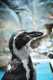 非洲企鹅特写镜头 免版税库存图片