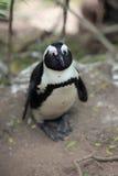 非洲企鹅的画象 免版税库存图片