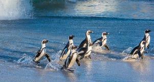 非洲企鹅从沙滩的海洋走出去 亦称非洲企鹅蠢企鹅demersus公驴pengui 免版税库存图片