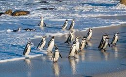 非洲企鹅从沙滩的海洋走出去 亦称非洲企鹅蠢企鹅demersus公驴pengui 库存图片