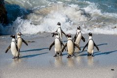 非洲企鹅从沙滩的海洋走出去 亦称非洲企鹅蠢企鹅demersus公驴pengui 免版税图库摄影