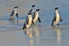 非洲企鹅从沙滩的海洋走出去 库存图片