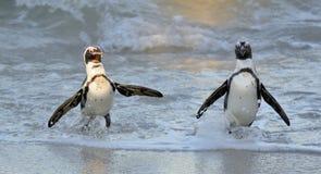 非洲企鹅从沙滩的海洋走出去 库存照片