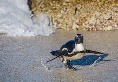 非洲企鹅从沙滩的海洋走出去 免版税库存照片